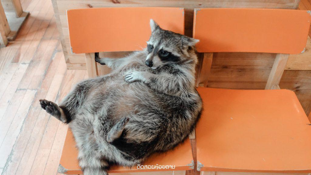 cafe raccoon